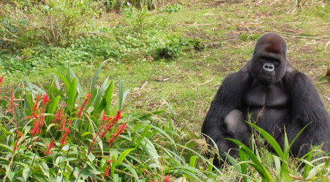 A gorilla sitting along in a Savannah setting.