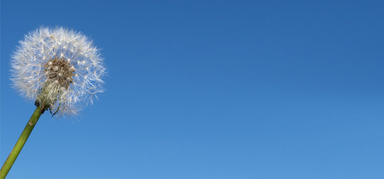 Close-up of a single dandelion against a cloudless, blue sky. FreeImages.com/John Nyberg