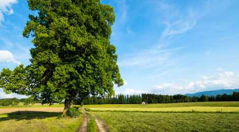 A large, green tree in a field.