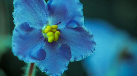 Close-up image of a single, vibrant blue flower.